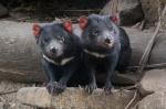 Devils of Tasmania
